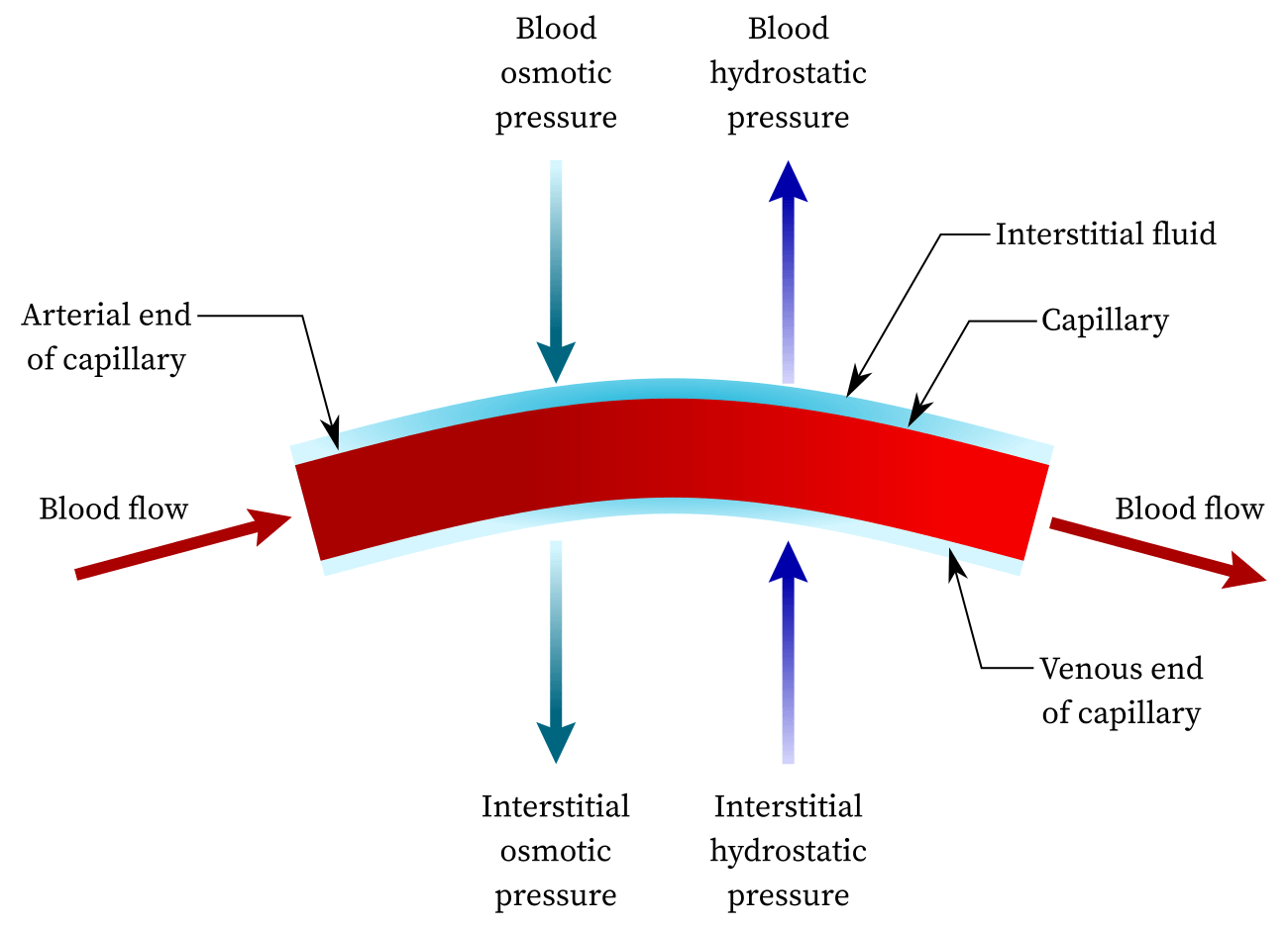 Hydrostatic pressure in human body (blood)