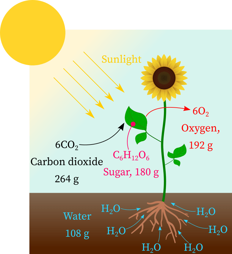 Photosynthesis: carbon dioxide reacts with water in presence of sunlight to form glucose and oxygen.